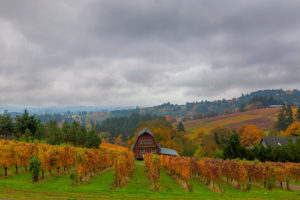 Romantic foggy day in Dundee vineyard