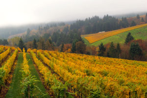 Vineyard in Oregon on a foggy day in fall season