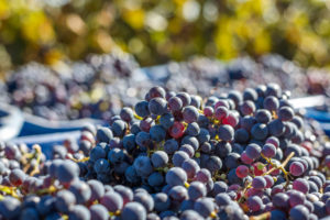 close up of red grapes picked at vineyard during fall harvest