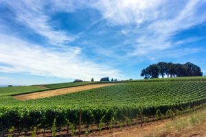 Vineyard on sunny day with Willamette Valley Pinot Noir grapes