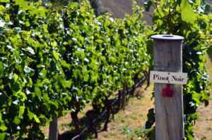 Pinot Noir Sign On Grape Vines for Willamette Valley Pinot Noir